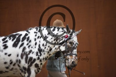 Class 8: Registered Spotted Horse Mare & Gelding