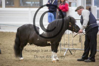 Class 30: Miniature Stallion