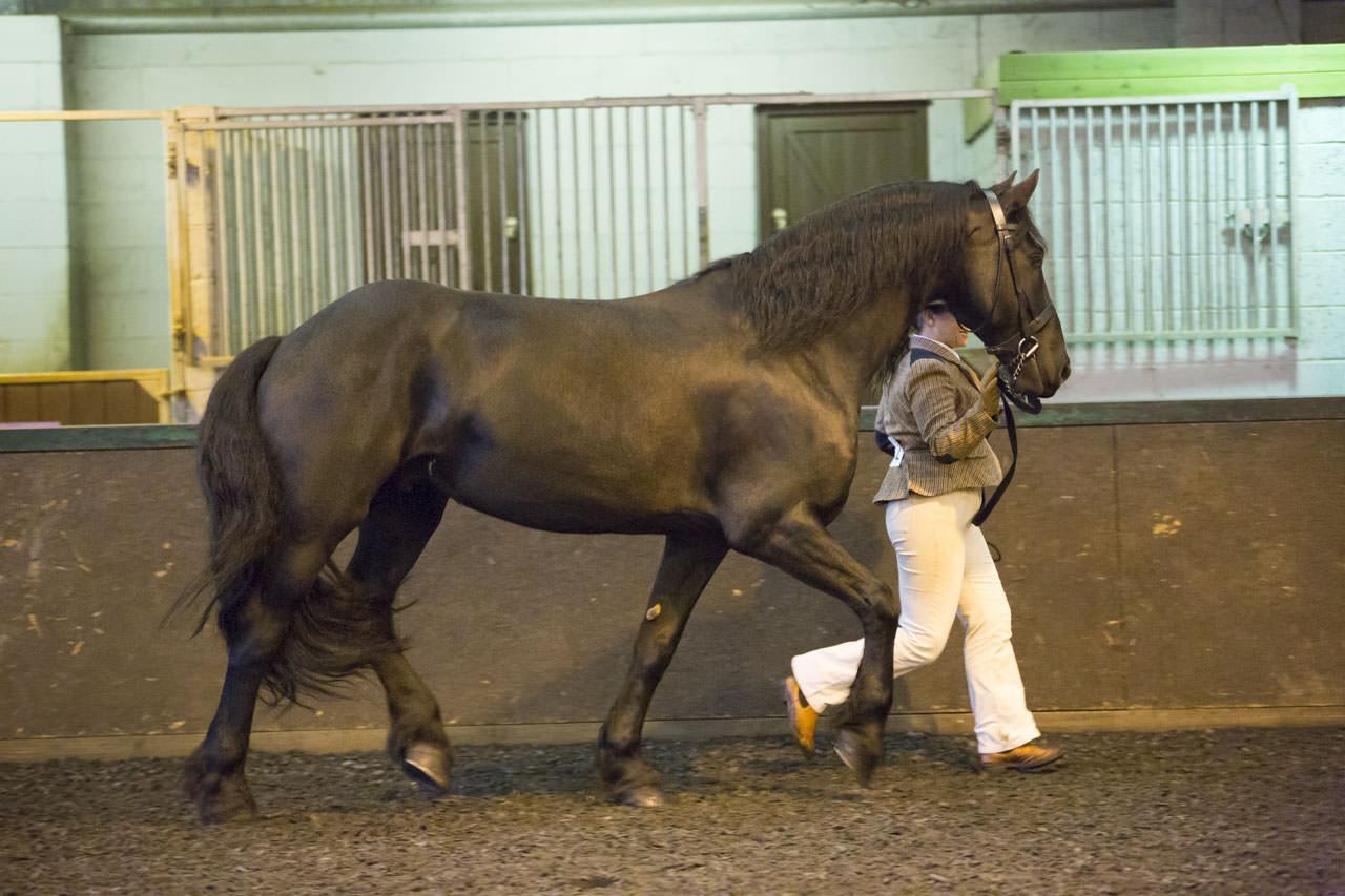 Class 14: Gelding/ Stallion