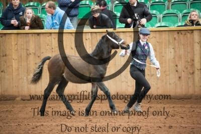 Class 16- Welsh C Colt Foal