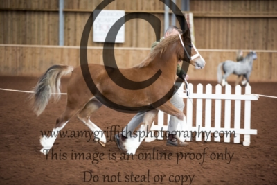 Class 19- Welsh C Yearling Filly/Gelding