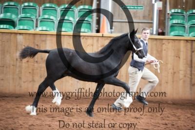 Class 22- Welsh D Colt Foal