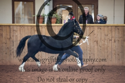 Class 20- Welsh C 2/3 year old Colt
